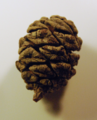 Small redwood cone.png
