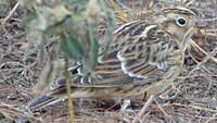 Smith's Longspur - first winter bird (8160050009).jpg