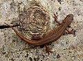 Smooth Newt. Lissotriton vulgaris (33108380112).jpg