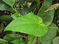 Solena amplexicaulis 20.JPG