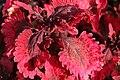 Solenostemon scutellarioides Purple Emperor 2zz.jpg