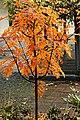 Sorbus Herbstlaub 12.jpg