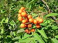 Sorbus americana, Whitefish Island 4.JPG