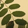 Sorbus californica leaf.jpg