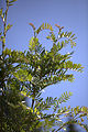 Sorbus scalaris 05.jpg