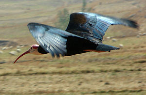 Southern bald ibis - Image: Southern Bald Ibis (Geronticus calvus) Flying, Lesotho, Sep 2008