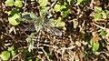 Southern Hawker dragonfly (10207662866).jpg