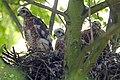 Sparrowhawk Nest 01.07.12 (7521702834).jpg