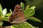 Speckled wood (Pararge aegeria aegeria) male underside.jpg