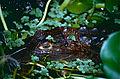 Spectacled Caiman (Caiman crocodilus) (10531714134).jpg