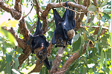 Spectacled flying foxes (Pteropus conspicillatus) - male, female & her young.jpg