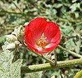 Sphaeralcea ambigua Pink 2.jpg