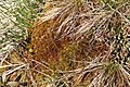 Sphagnum compactum (b, 141120-472344) 5263.JPG