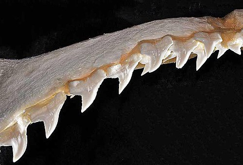 500px sphyrna mokarran upper teeth