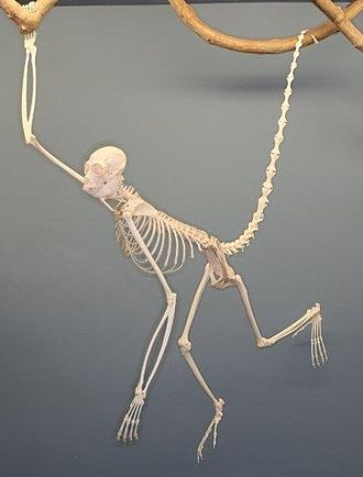Spider monkey - Spider monkey skeleton on display at The Museum of Osteology, Oklahoma City, Oklahoma