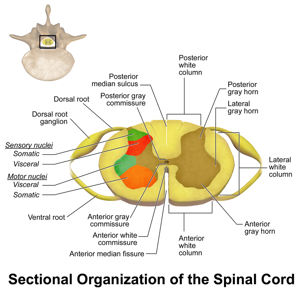 Spinal Cord Sectional Anatomy