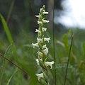 Spiranthes ochroleuca inflorescence.jpg