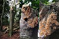 "Spongipellis pachyodon (Spongy Toothed Polypore, D= Breitstacheliger Schwammporling, F= Polyporus denté, NL= Getande kaaszwam) the ""first one"" at 13 September 2015, again back, but still very small - panoramio.jpg"