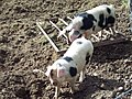 Spotted pigs at Cann Mill - geograph.org.uk - 369763.jpg