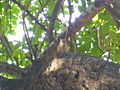 Squirrel in the tree1.JPG