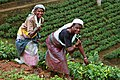 Sri Lanka-Tea plantation-04.jpg