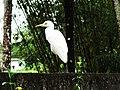 Sri Lankan Cattle Egret.jpg