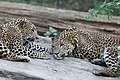 Srilankan leopard cubs (47629041312).jpg