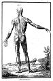 Standing figure-muscles(male), from behind Wellcome L0006623.jpg