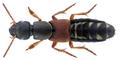 Staphylinus caesareus Cederhjelm, 1798.png
