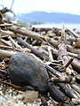 Starr-040323-0078-Aleurites moluccana-beach flotsam-Kanaha Beach-Maui (24581975062).jpg
