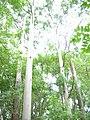 Starr-041024-0002-Eucalyptus sp-habit-Makawao Forest Reserve-Maui (24089953414).jpg