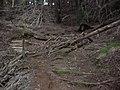 Starr-041221-1844-Cupressus macrocarpa-Haleakala ridge trail-Polipoli-Maui (24695714296).jpg