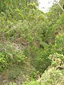 Starr-050815-3439-Bocconia frutescens-habit-Pohakuokala Gulch-Maui (24148148944).jpg