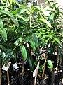 Starr-080103-1442-Mangifera indica-habit-Lowes Garden Center Kahului-Maui (24784164312).jpg