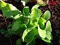 Starr-081031-0377-Lactuca sativa-anuenue habit-Makawao-Maui (24559012829).jpg