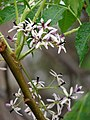 Starr-090518-7890-Melia azedarach-flowers-Omaopio-Maui (24955361875).jpg