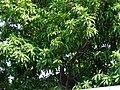 Starr-090608-9003-Manilkara zapota-leaves and fruit-Waikapu-Maui (24869336591).jpg
