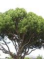 Starr-090806-4050-Pterocarpus indicus-canopy-Kahului-Maui (24945509116).jpg