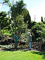 Starr-091104-0766-Hibiscus waimeae-flowering habit with Mike and Forest-Kahanu Gardens NTBG Kaeleku Hana-Maui (24619935059).jpg