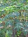 Starr-091104-9172-Carica papaya-habit-Kahanu Gardens NTBG Kaeleku Hana-Maui (24693238460).jpg