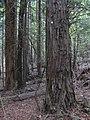 Starr-101219-5523-Sequoia sempervirens-trunk and bark-Waihou Springs-Maui (24939810922).jpg
