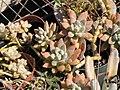 Starr-110215-1455-Unknown crassulaceae-habit-Kihei-Maui (24780692060).jpg
