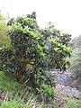 Starr-110307-2921-Eriobotrya japonica-habit-Kula Botanical Garden-Maui (24711354429).jpg