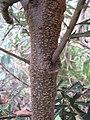 Starr-110609-6138-Banksia marginata-bark-Shibuya Farm Kula-Maui (24466106954).jpg