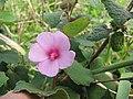 Starr-130322-3859-Urena lobata-flower and leaves-Hanalei NWR-Kauai (24842115399).jpg