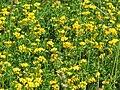 Starr-130605-4722-Lotus uliginosus-flowering habit-Olinda-Maui (24915961030).jpg