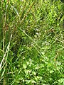 Starr-140909-4884-Ageratum conyzoides-flowering habit-Wailua-Maui (25219736966).jpg