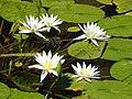 Starr-141025-2510-Nymphaea sp-flowering habit in well-Kawela-Molokai (24952247650).jpg