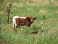 Starr-141229-0055-Paspalum urvillei-habit and cows in pasture-Hoku Nui Piiholo-Maui (25250159375).jpg