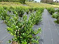 Starr-180919-0973-Camellia sinensis-plantings-Skyline Zipline Crater Rd-Maui (44902892945).jpg